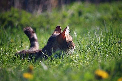 cat playing in a grassy field
