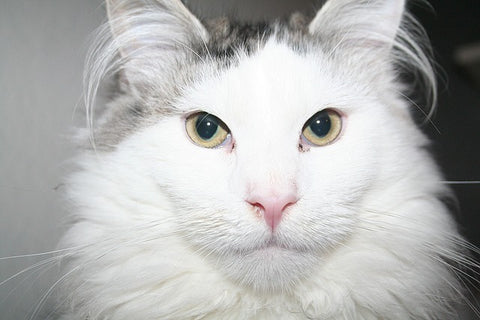 white and gray Maine Coon