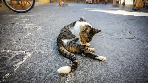 cat on the street, grooming