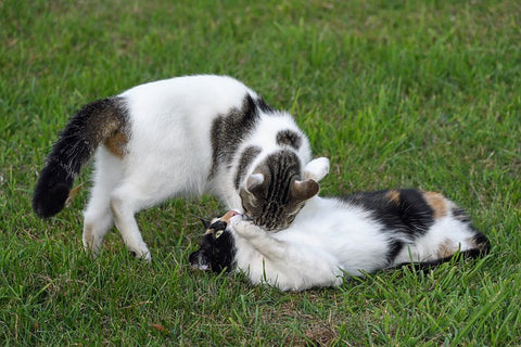 two cats allogrooming