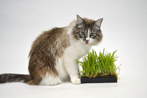 cat eating a special kitty garden of grass