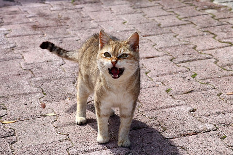 cat outdoors meowing