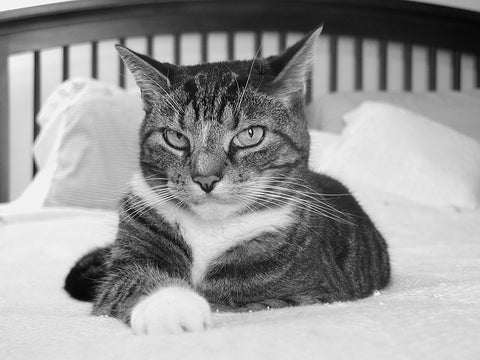 black and white photo of a cat in bed