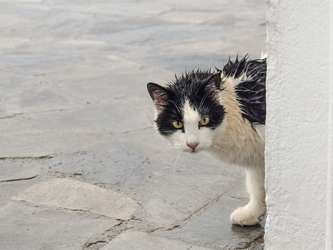 stray black and white cat