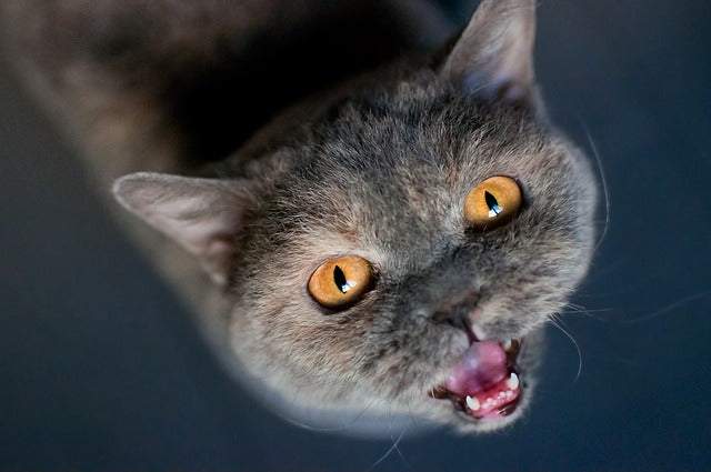 gray cat looking up and meowing