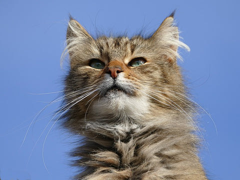cat with prominent whiskers on a blue background