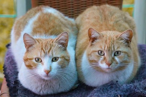 two orange and white cats side by side