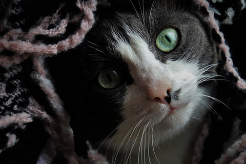 sad looking black and white cat hiding under a blanket