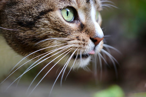 cat with whiskers
