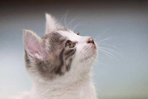 gray and white kitten looking up