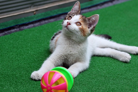 kitten playing with ball on astro turf