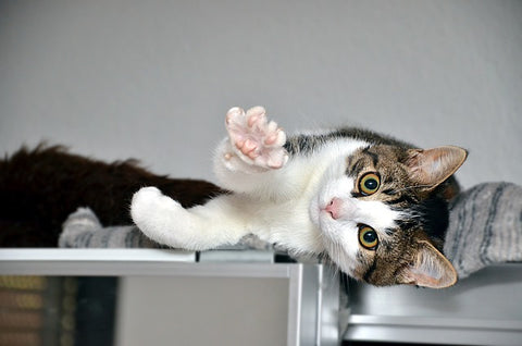cat showing paw