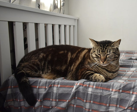 lethargic tabby cat on a bed