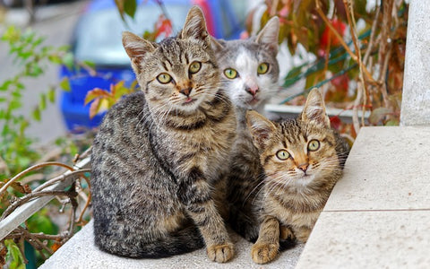 a multicat household - three cats
