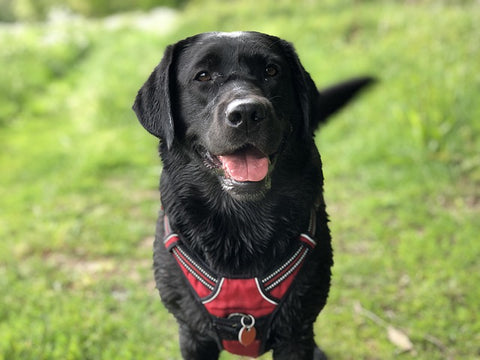 black labrador wagging his tail