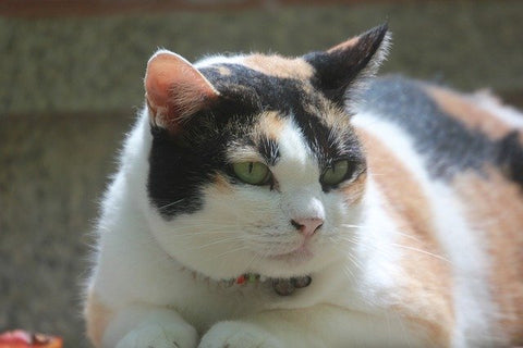 obese calico cat