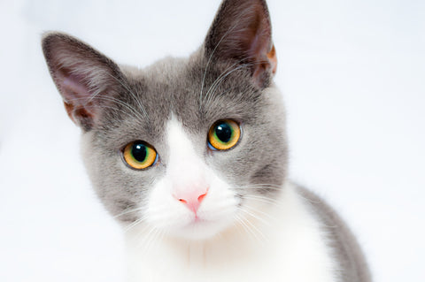 grey and white cat with large ears
