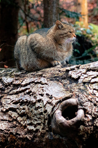 overweight tabby cat on a downed tree limb