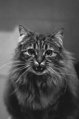 black and white photo of a long haired cat growling