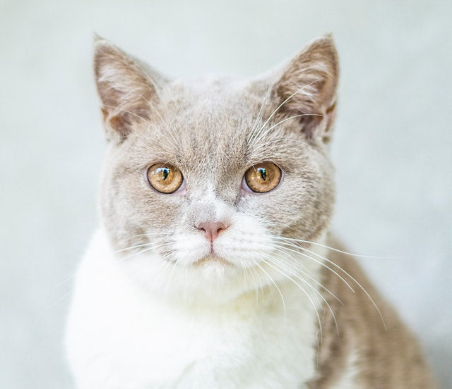 gray and white cat staring