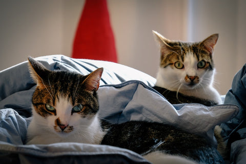 two cats on a blanket