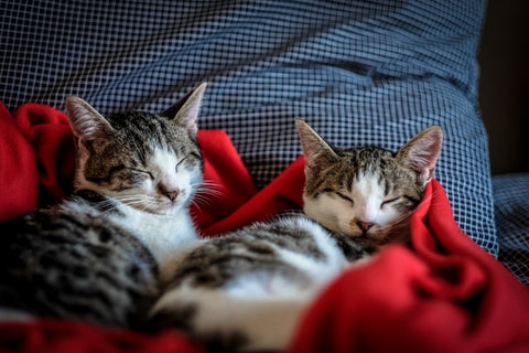 two cats on a red blanket