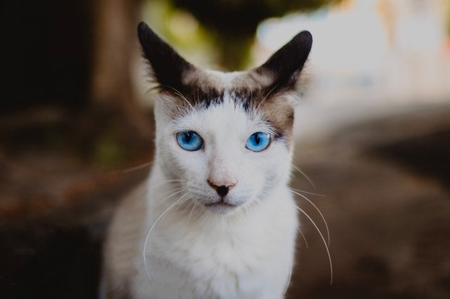 cat with blue eyes staring