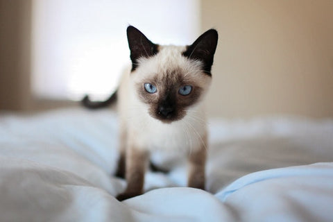 siamese kitten on the bed