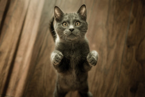 gray cat begging to be picked up