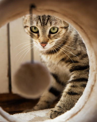 tabby cat looking through a tunnel