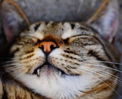 cat with fangs sleeping