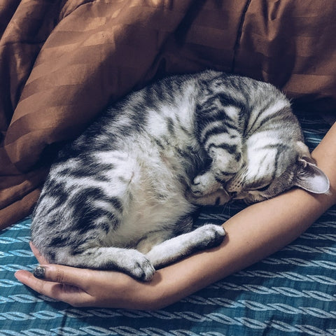 striped cat curled up in bed with someone's arm