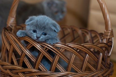 Russian blue cat kitten