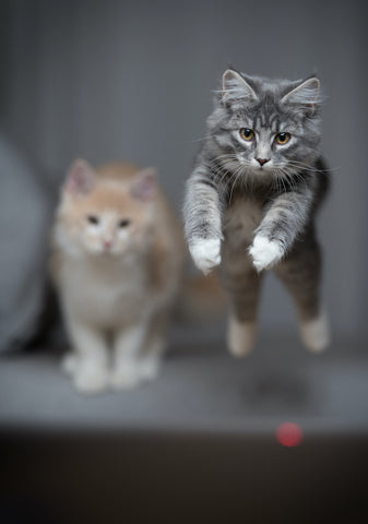 cats leaping for a laser pointer