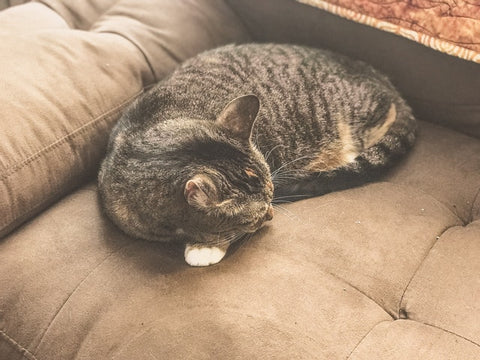 cat napping on a microfiber sofa
