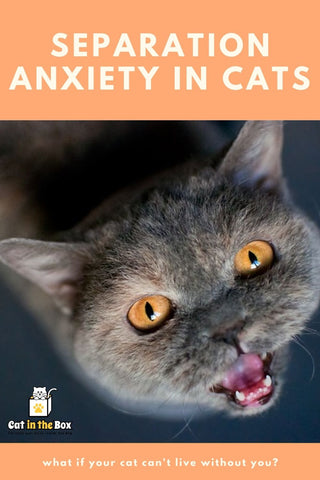 Separation anxiety in cats pinterest friendly pin