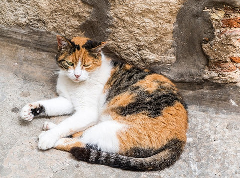 calico with large patches of white fur