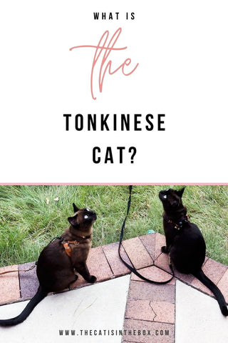 what is the Tonkinese Cat - Pinterest-friendly pin