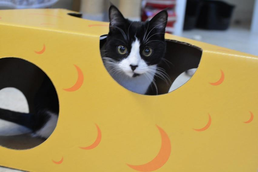 a black and white cat playing in the Monster Cheese Wedge cardboard box toy house