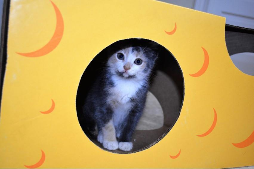 a kitten playing in the Monster Cheese Wedge cardboard box toy house