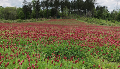 Dixie Reseeding Crimson Clover Seed (Coated)
