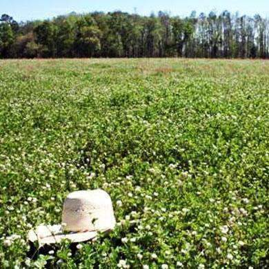 Ball Clover Seed