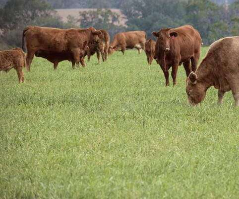 Hancock's Cattle Pasture Grass Seed Mix- Warm Climate