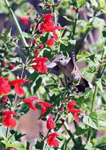 Hummingbird Flower Seed Mixture