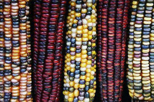 Indian Corn Seed - Certified NON-GMO