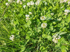 Ladino Clover - Raw