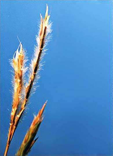 Little Bluestem Grass Seed