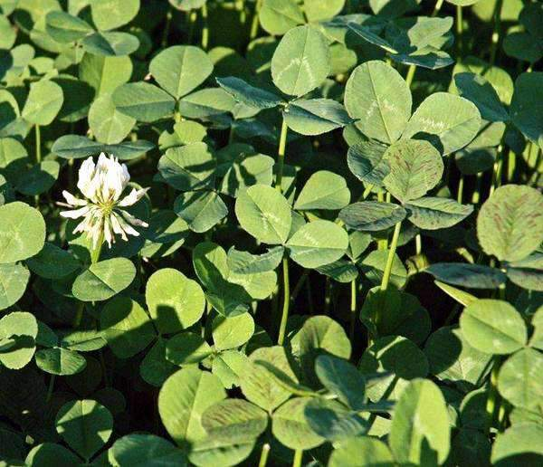 Osceola Ladino Clover Seed (Coated)