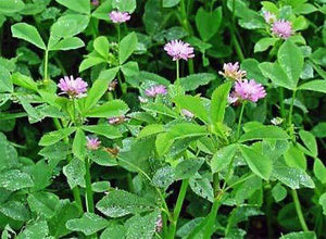 Persian Clover Seed