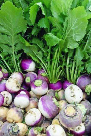 Purple Top White Globe Turnip Seed